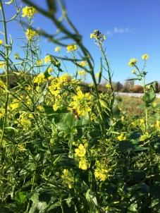 Abeille avec sacs a pollen sur ravenelles