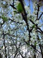 Pollinisation Pruniers