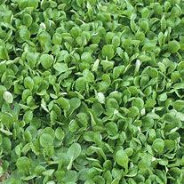 mâche à petites feuilles