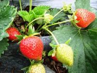 fraises cirafines.jpg