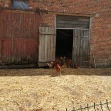poules libres