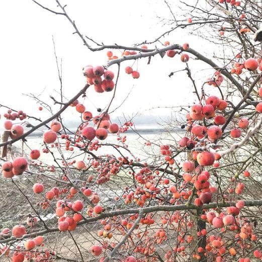 petites pommes gelées.jpg