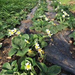 fleurs de fraisiers