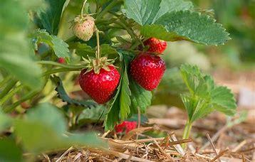 fraises sur paille